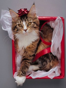 Cat Gift On Christmas