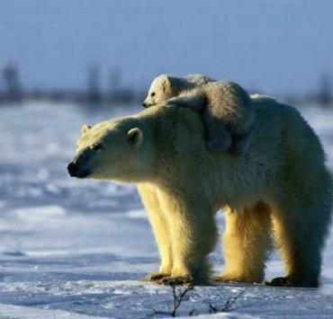 Ursul Cu Pui