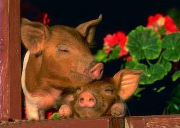 Porcii La Geam