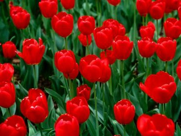 Lalele Rosii Frumoase