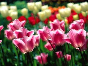 Lalele Rosii-roz