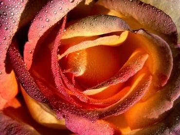 Trandafir Frumos