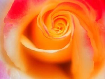 Trandafir Galben Mare