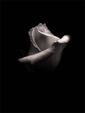 White-black rose