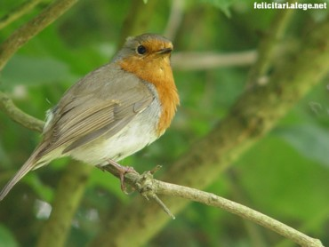 A robin on the lookout