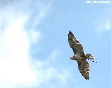 Hawk on sky