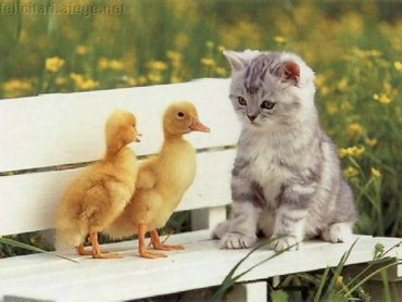 Chicks And Kitten