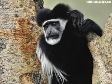 Abyssinian Monkey