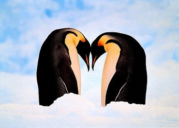 Doi Pinguini Se Iubesc