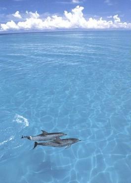Delfini In Ocean