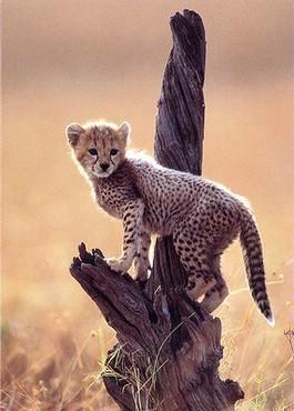 Pui De Leopard