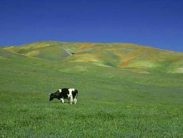Vaca La Pascut