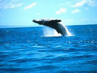 Balena In Ocean