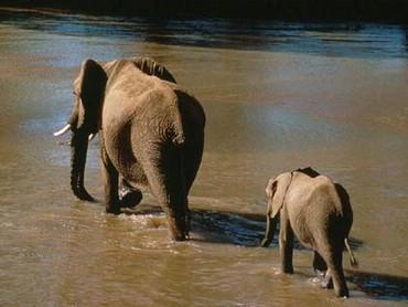Elefantul Cu Pui