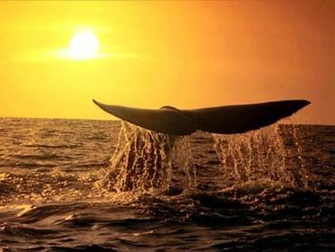 Coada De Balena
