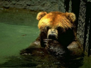 Bear Swim