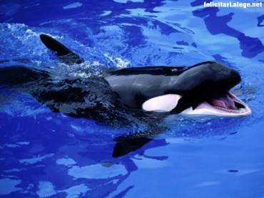 Feed Mel killer whale