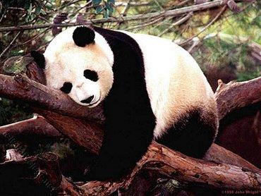 Panda Somn