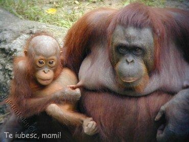 Te Iubesc Mami