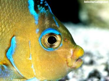 Atlantic blue fish