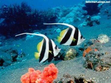 Lonn-Fin bannerfish