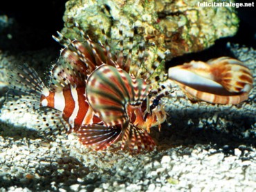 On patrol lionfish