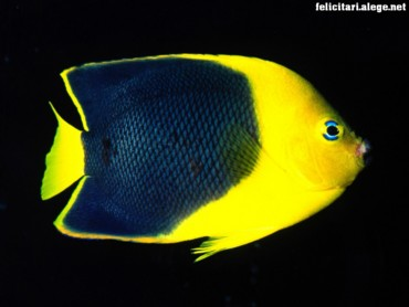 Rock Angelfish