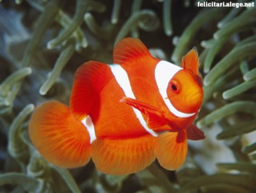 Spine Anemonefish