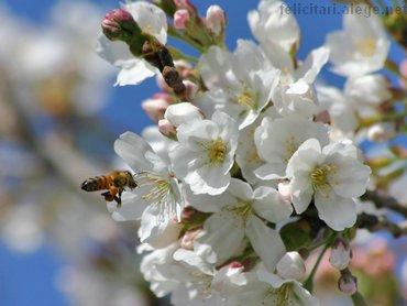 Flori De Pomi Fructiferi