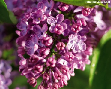 Lilac 4 You
