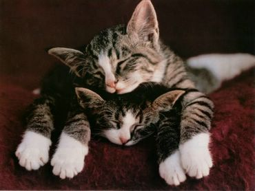 Doua Pisici Iubitoare