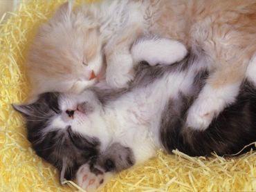 Doua Pisici Dulci