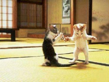 Pisici Kung-fu
