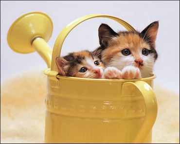 Doua Pisici Intr-o Stropitore