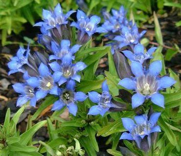Flori Albastre