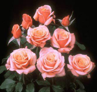 Trandafiri Boboci Si Floare