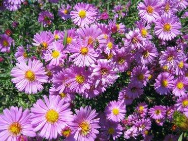 Lilac Flowers In Garden