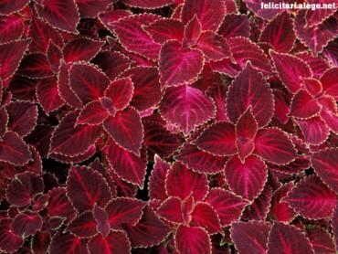 Red Nettles