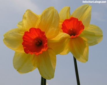 Special Daffodils