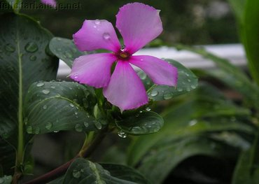 Violet Smooth Flower