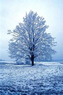 Copac Iarna