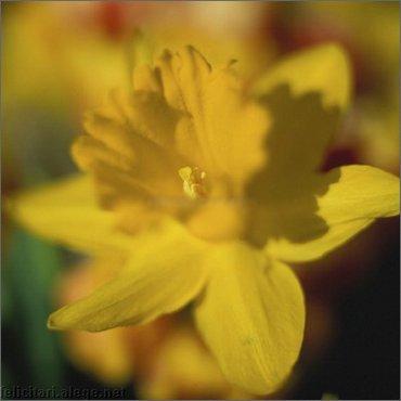 Daffodill