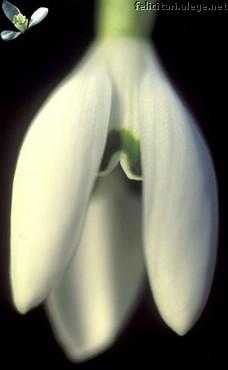Ghiocel-alb
