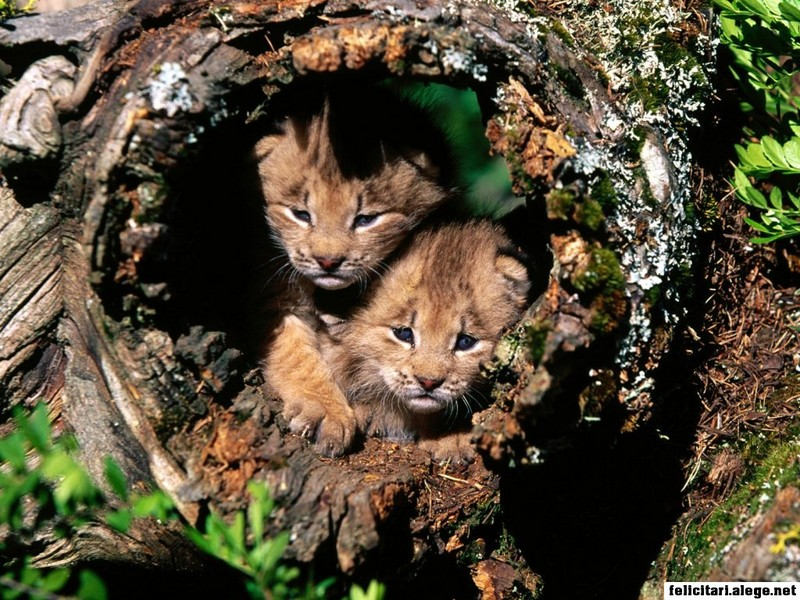 2 Cubs In Tree