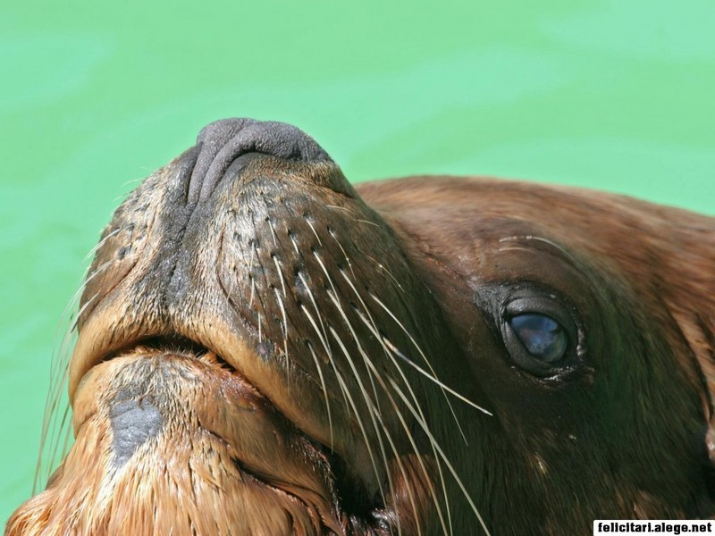 Nose Of Sea Lion