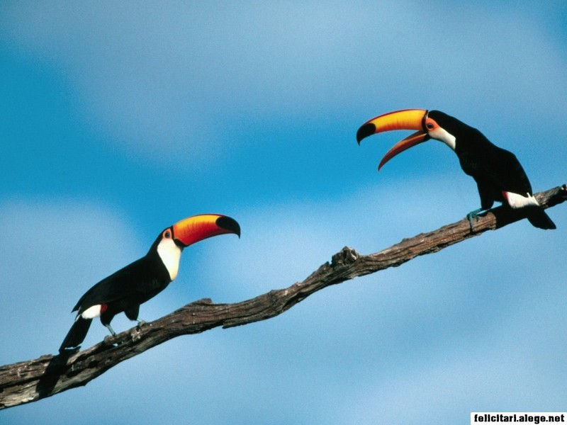 Pete And Repeat Toco Toucans