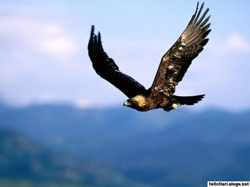 Soring High Golden Eagle