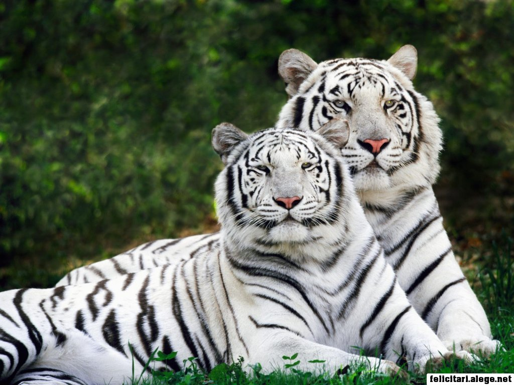 White Phase Bengal Tigers