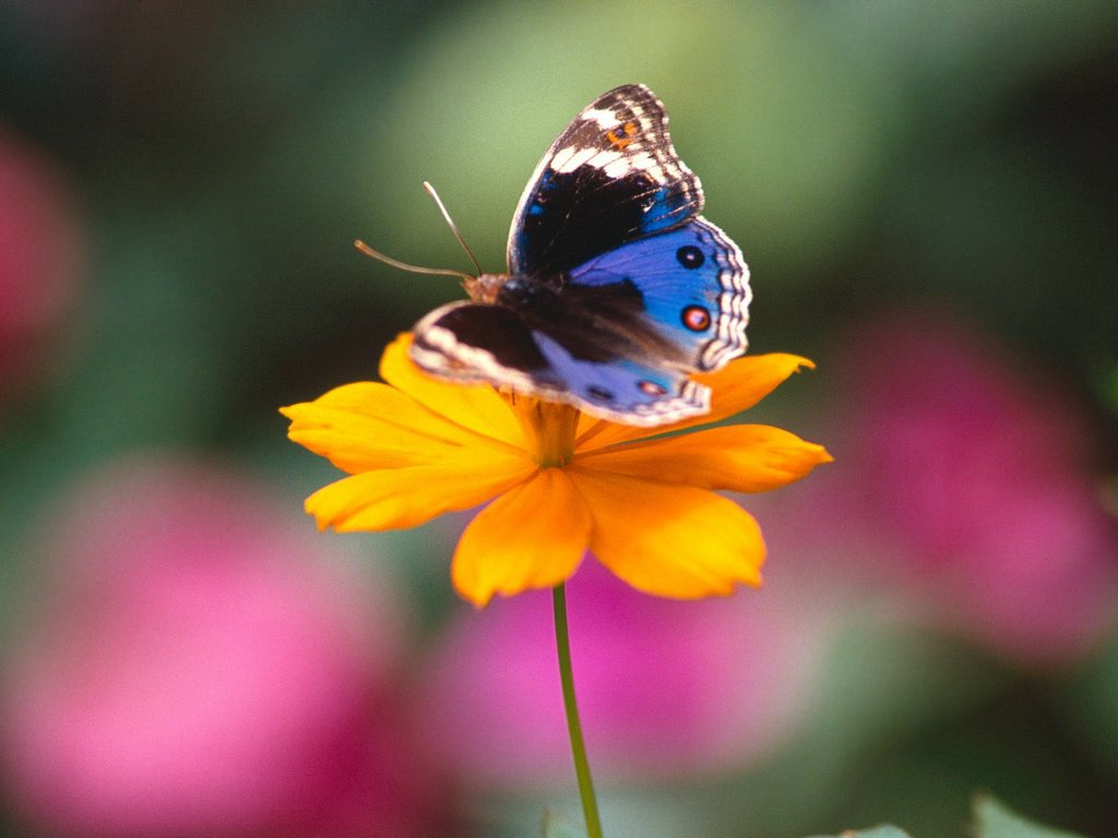 All A Flutter Precis Orythya Butterfly