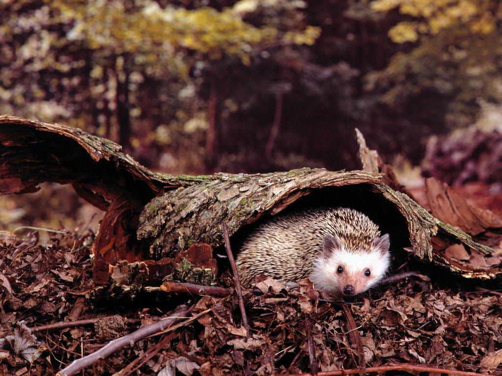 Hiding Out Hedgehog